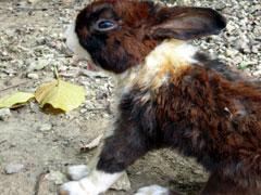 石垣島のウサギ