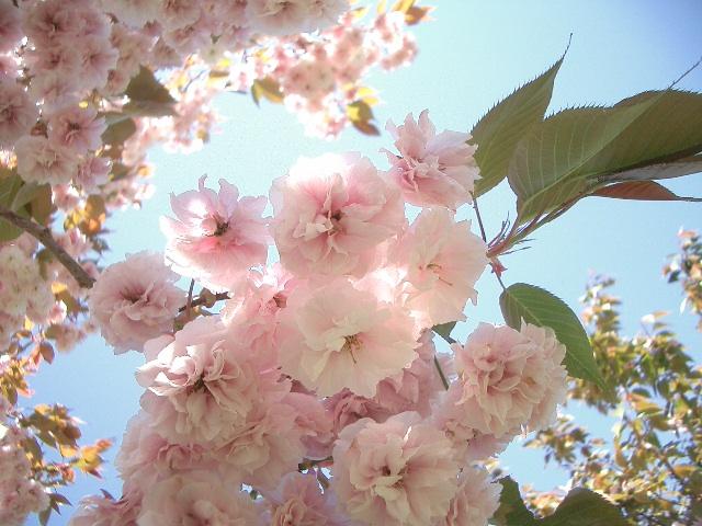この日は快晴ーー桜日和
