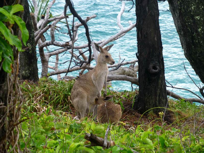 P1090810_kangaroo.jpg