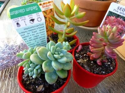 P1110473_succulent.jpg
