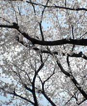 佐山緑道(桜満開)