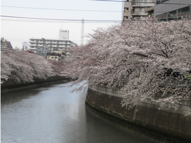 目黒川〜桜満開