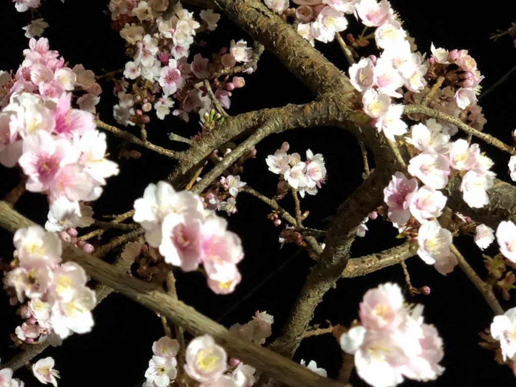1/26 あたみ桜