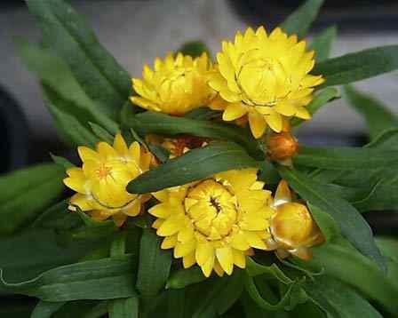 ムギワラギク(麦藁菊)
