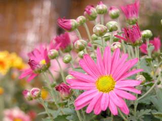 キク(菊)'紫苑'