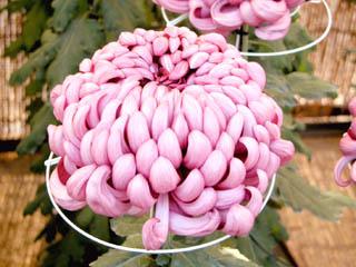 キク(菊)'太平紫宝'(厚物)