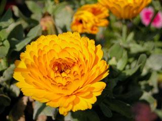 キンセンカ(金盞花)
