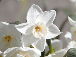スイセン(水仙)'ペーパーホワイト'