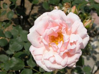 バラ(薔薇) 'アーリー・モーン'