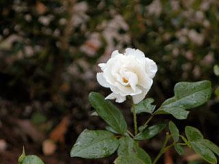 バラ(薔薇) 'アイスバーグ(シュネーヴィッツェン)'