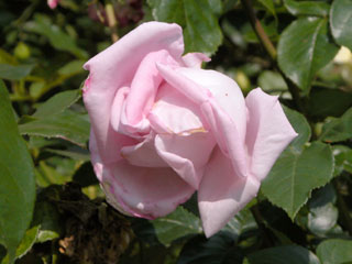 バラ(薔薇) 'アドミラル・ロドニー'