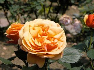 バラ(薔薇) 'アバウトフェイス'