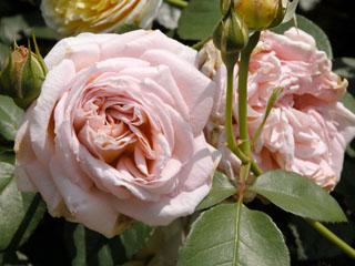 バラ(薔薇) 'アブラハム・ダービー'