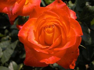 バラ(薔薇) 'アリンカ'