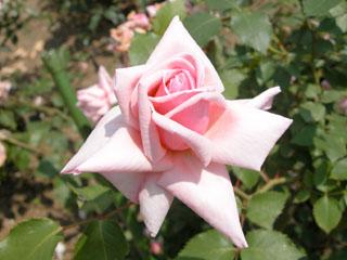 バラ(薔薇) 'アルシデュック・ジョセフ'