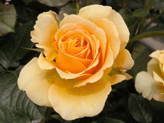 バラ(薔薇) 'アンバークイーン'