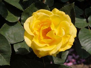 バラ(薔薇) 'インカ'