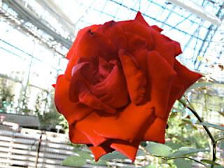 バラ(薔薇) 'イングリッド・バーグマン'