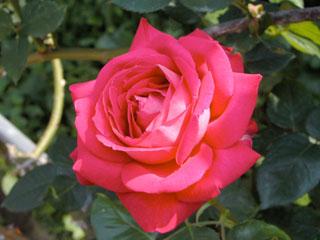 バラ(薔薇) 'イントゥリーグ'