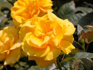 バラ(薔薇) 'ウェルウィン・ガーデン・グローリー'