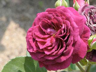 バラ(薔薇) 'エブタイド'