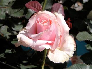 バラ(薔薇) 'オードリーヘップバーン'