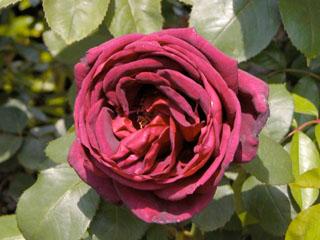 バラ(薔薇) 'オクラホマ'