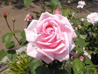 バラ(薔薇) 'オフェリア'