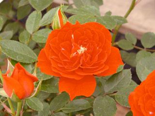 バラ(薔薇) 'オレンジ・メイアンディナ'