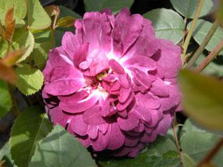 バラ(薔薇) 'カーディナル・ド・リシュリュー'