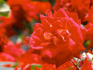 バラ(薔薇) 'かがやき'