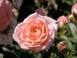 バラ(薔薇) 'カップケーキ'