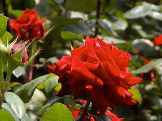 バラ(薔薇) 'カランボ'