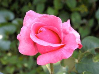 バラ(薔薇) 'カリーナ'