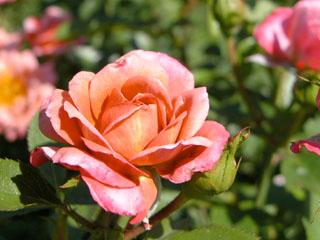 バラ(薔薇) 'カレイドスコープ'