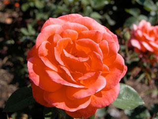 バラ(薔薇) 'カンデラブラ'