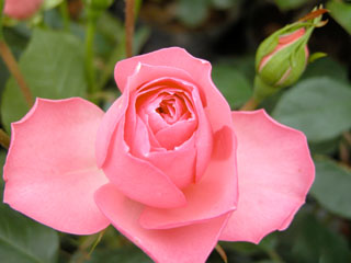 バラ(薔薇) 'ギィ ドゥ モーパッサン'