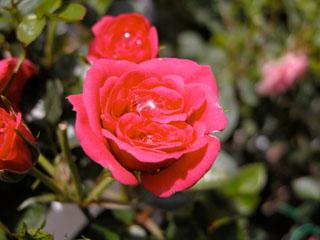 バラ(薔薇) 'キャンディキャンディ'(ミニバラ)
