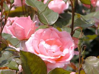 バラ(薔薇) 'クイーン・エリザベス'