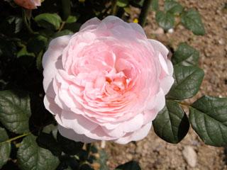 バラ(薔薇) 'クイーン・オブ・スウェーデン'