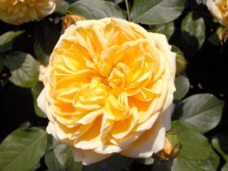 バラ(薔薇) 'グラハム・トーマス'