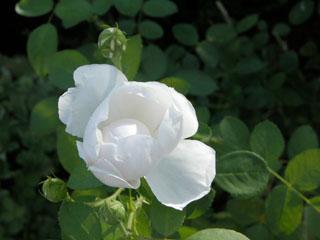 バラ(薔薇) 'グラミスキャッスル'