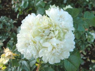 バラ(薔薇) 'グリーンアイス'