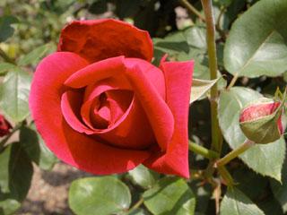 バラ(薔薇) 'クリムゾン・キング'