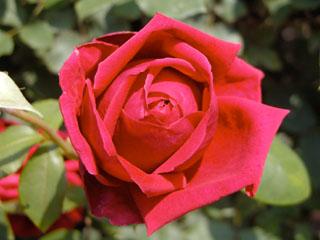バラ(薔薇) 'クリムゾン・グローリー'
