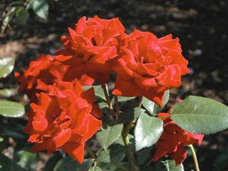 バラ(薔薇) 'クリムゾンブーケ'