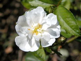 バラ(薔薇) 'グルメポップコーン'