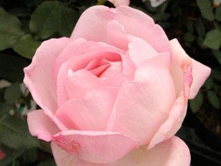 バラ(薔薇) 'グレースドモナコ'
