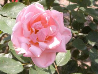 バラ(薔薇) 'ケアレスラブ'