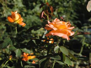 バラ(薔薇) 'ケニギン・ベアトリックス'